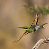 swallow tail bee eater