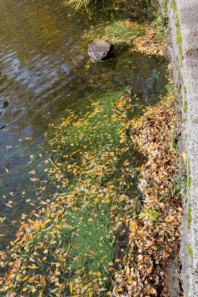 Cyanobacteria scum  at location 1Rental Bay
