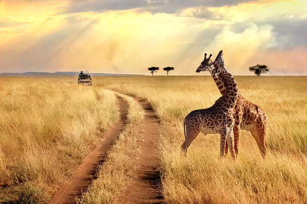 Group of giraffes in the Serengeti National Park on a sunset background with rays of sunlight. African safari.