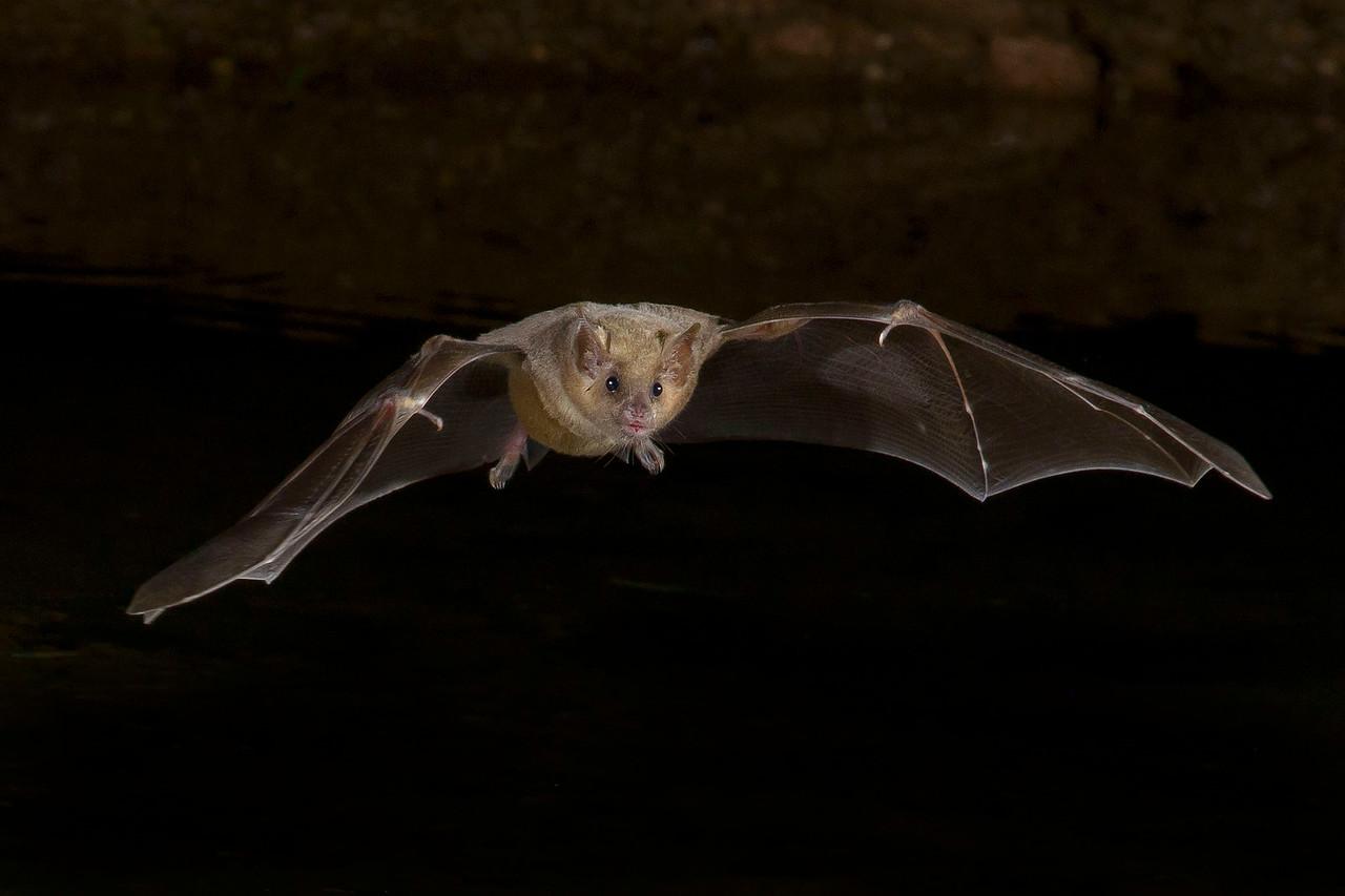 Fruit Bat Green Valley, AZ