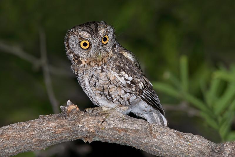Western Screech-Owl Madera Canyon, AZ