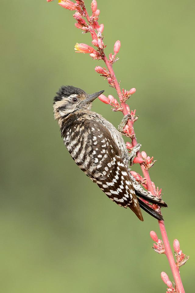 Ladder-backed Woodpecker Green Valley, AZ