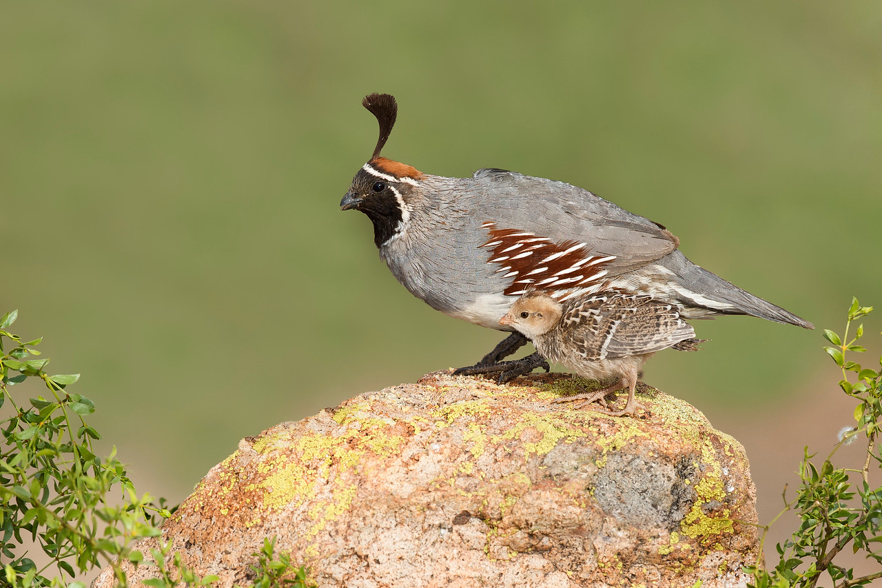 Gambel's Quail with Chick Green Valley, AZ