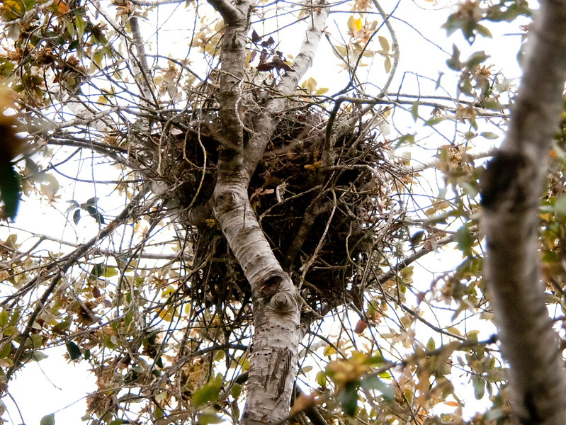 Green heron nest