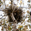 Green heron nest