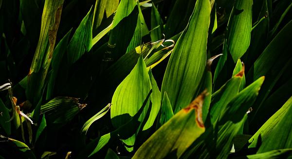 Gr. Light in the Leaf 21