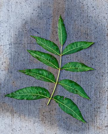 Gr. Sidewalk Leaf