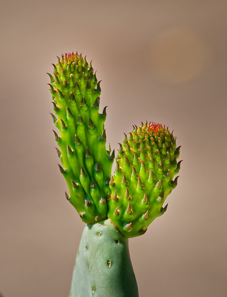 Gr. Cactus New Growth 02
