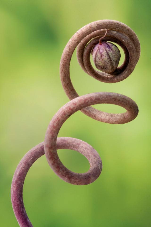 Cyclamen Seedhead