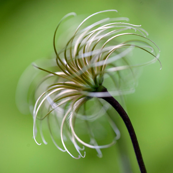 Clematis Seedhead 2
