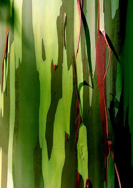 Eucalyptus Bark 1
