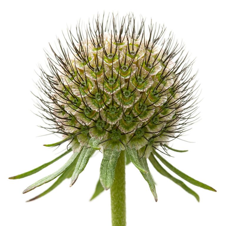 Seedhead 6