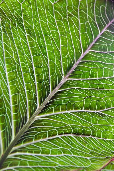 Arisaema Leaf