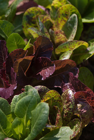 A variety of colorful lettuces grow in the vegetable garden.