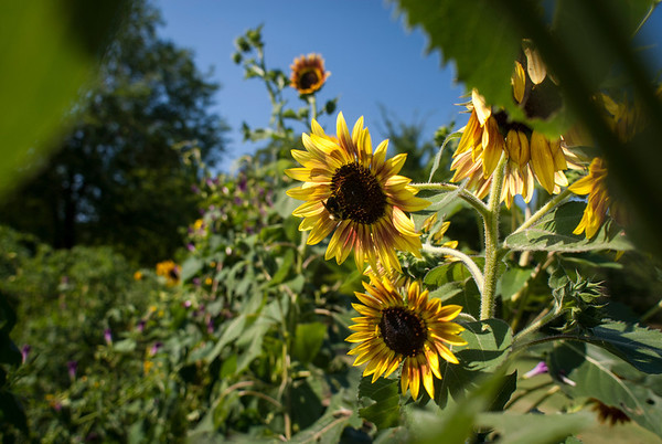 Sunflowers bloom in Trudy Sudberry's vegetable garden.