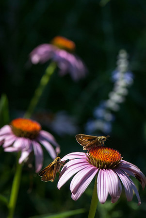 Skippers perch on a purple coneflower in the garden at La Ferme.