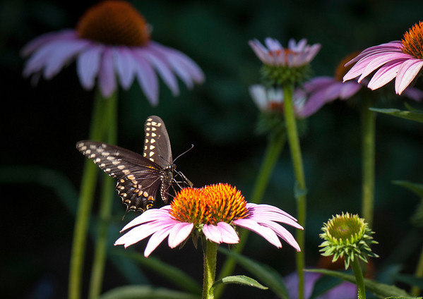 A black swallowtail butterfly sips nectar from a purple coneflower.
