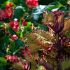 A fringed coleus in Trudy Sudberry's cottage garden is so colorful that its foliage rivals the blossoms around it.
