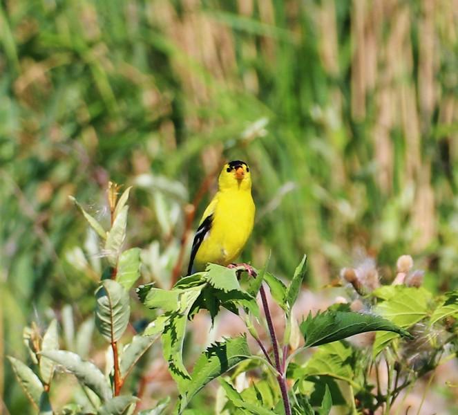 Goldfinch - The NJ Bird