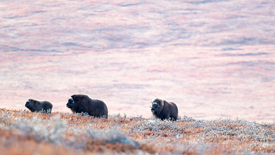 The tundra does not support many species of animals, but muskox and arctic hare seem to prosper