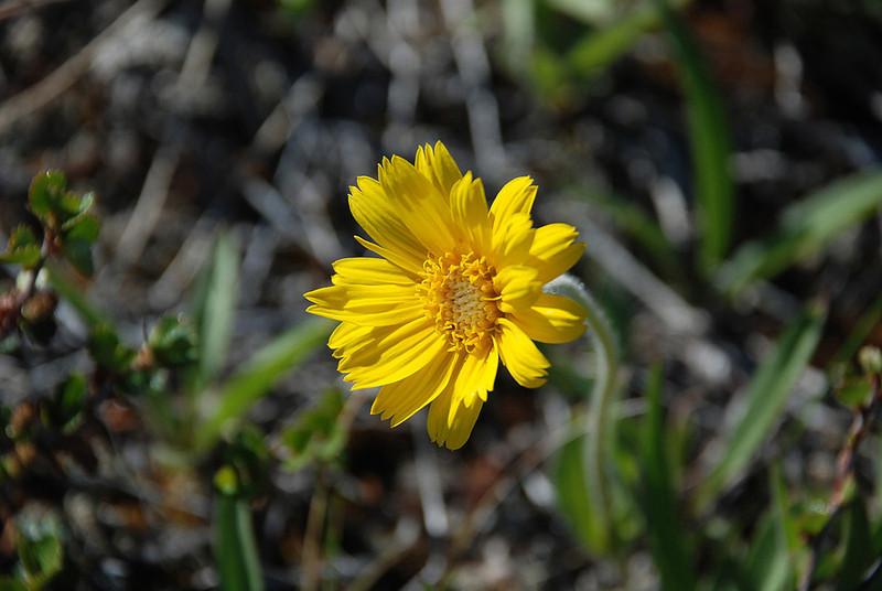 Greenlandic flower.
