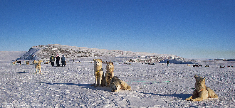 Dogs and hunters are getting ready for the dog sled race in Thule, Greenland.