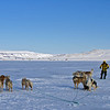 Sled dogs an musher on the sea ice in North Star Bay, Thule, Greenland.