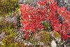 Fall mosses nad bearberry (Arctostaphylos alpina) on Northeast Milne Land, Scoresby Sund, Greenland