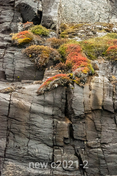 Cliff-side summer vegetation, Denmark Island, Scoresby Sund, Greenland