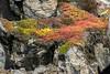 Cliffside arctic plants in the brief summer, Denmark Island, Scoresby Sund, Greenland