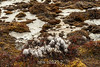 Cotton grass and ice-covered puddles, Cape Hofmann Halvo, Harefjord, Greenland