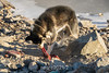 Sled dog eating its muskox intestine dinner, Ittoqqortoormiit, Scoresby Sund, East Greenland