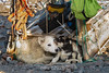 Mother sled dog under a wooden sled with two of her puppies, Ittoqqortoormiit, Scoresby Sund, Greenland