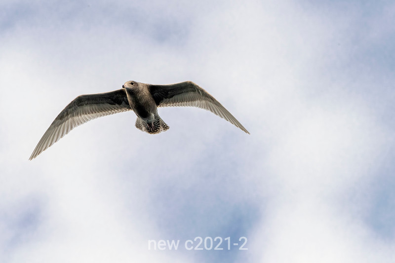 Glaucous gulls (Larus hyperborean) flying over Rypefjord, Scoresby Sund, East Greenland