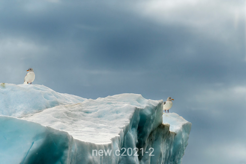Glaucus gulls on an iceberg, Rypefjord, Scoresby Sund, Greenland