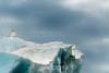 Glaucus gulls on an iceberg, Rypefjord, Scoresby Sund, Greenland