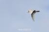 Glaucous gulls (Larus hyperborean) wings down, Rypefjord, Scoresby Sund, East Greenland