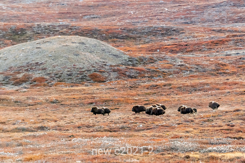 Herd of musk ox (Ovibos moschatus) running through cotton grass (Eriohorum callitrix), C Hoffman Halvo, Greenland