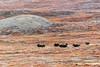 Herd of musk ox (Ovibos moschatus) running through cotton grass (Eriohorum callitrix), C Hoffman Halvo, Greenland