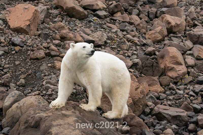 Polar bear on the lookout, Vikingebugt Inlet, Scoresby Sund, Greenland