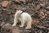 Polar bear on the lookout, Vikingebugt Inlet, Scoresby Sund, Greenland
