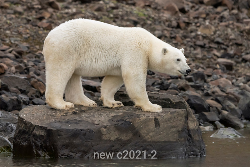 Adult female polar bear standing on a rock by the water, Vikingebugt Inlet, Scoresby Sund, Greenland
