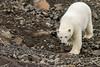 Curious polar bear approaching over rocky terrain, Vikingebugt Inlet, Scoresby Sund, Greenland