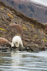 Polar bear on a steep slope by the water with reflections, Vikingebugt Inlet, Scoresby Sund, Greenland