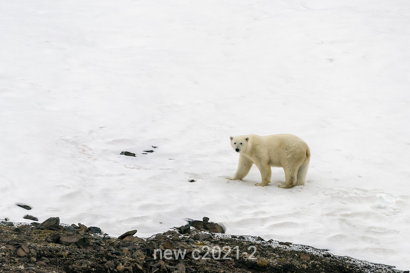 Polar bear on snow, Vikingebugt Inlet, Scoresby Sund, Greenland