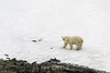 Polar bear on snow, Vikingebugt Inlet, Scoresby Sund, Greenland