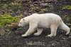 Polar bear on glacial rocks with fall vegetation, Vikingebugt Inlet, Scoresby Sund, Greenland