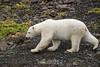 Polar bear on glacial rocks with fall vegetation, Vikingebugt Inlet, Scoresby Sund, Greenland