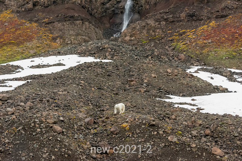 Polar bear in the late summer landscape, Vikingebugt, Scoresby Sund, Greenland