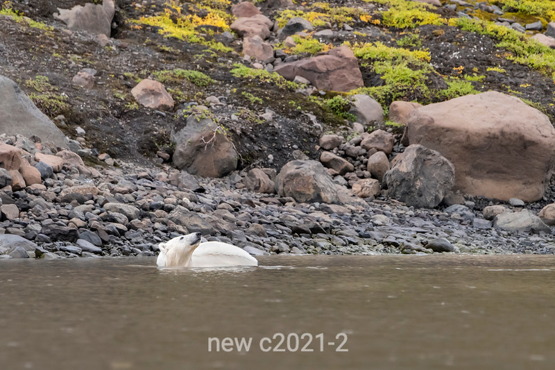 Polar bear standing in the water by a rocky shoreline, Vikngebugt Inlet, Scoresby Sund, Greenland